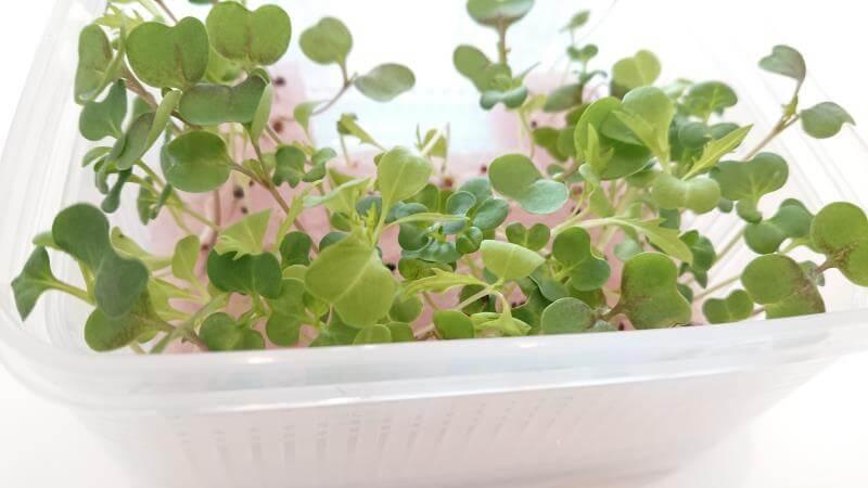 サラダミックス水耕栽培 10日目 小さな本葉が見えてきた その2