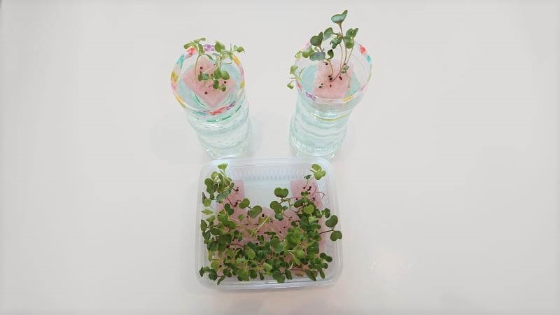サラダミックス水耕栽培 10日目 小さな本葉が見えてきた