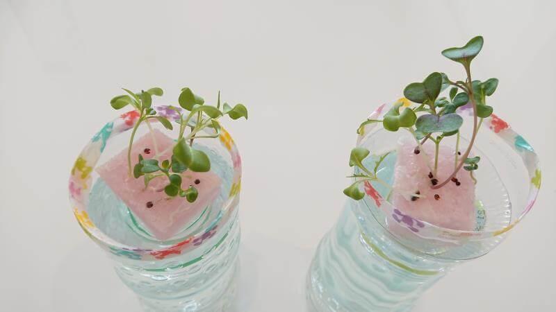 サラダミックス水耕栽培 10日目 小さな本葉が見えてきた ペットボトル