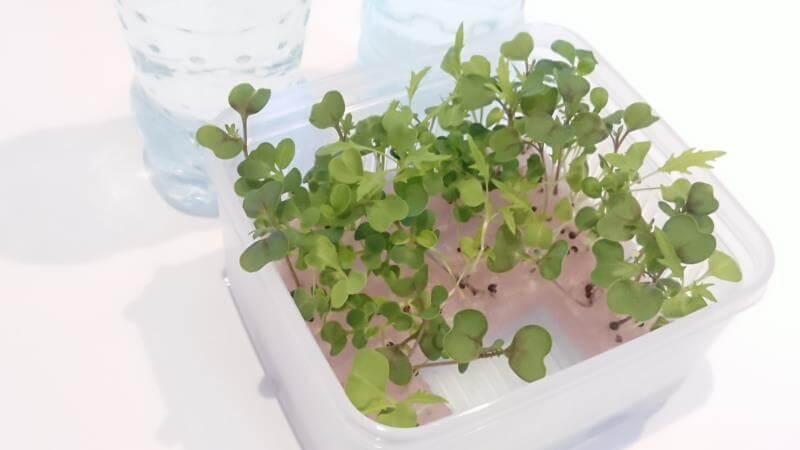 サラダミックス水耕栽培 11日目 たくさん本葉が生えてきた その2