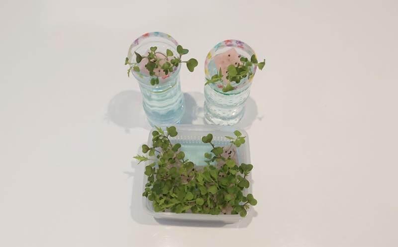 サラダミックス水耕栽培 12日目 本葉の数が増える