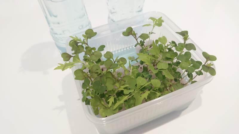 サラダミックス水耕栽培 12日目 本葉の数が増える その2