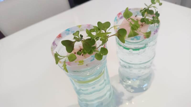 サラダミックス水耕栽培 12日目 本葉の数が増える ペットボトル