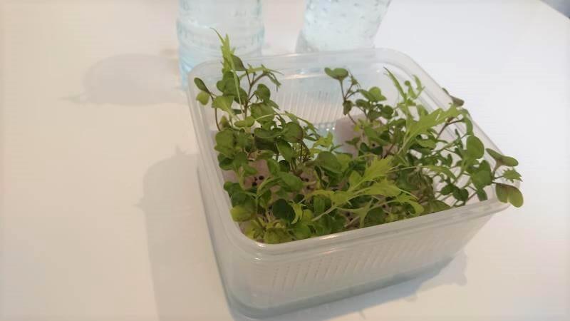 サラダミックス水耕栽培 14日目 生い茂る その2