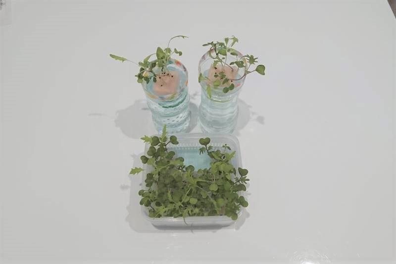 サラダミックス水耕栽培 15日目 梅雨の合間の晴れ