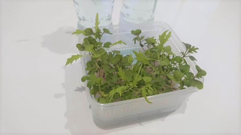 サラダミックス水耕栽培 15日目 梅雨の合間の晴れ その2