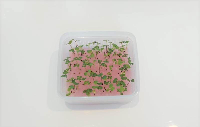 サラダミックス水耕栽培 6日目 よく水を吸う