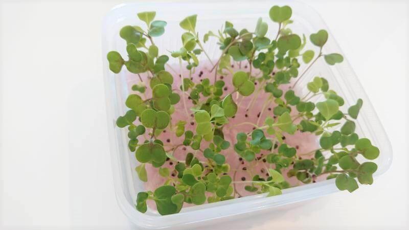 サラダミックス水耕栽培 9日目 移植してみた その2